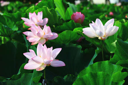 Beautiful white with pink lotus flowers blooming in the pond in summer