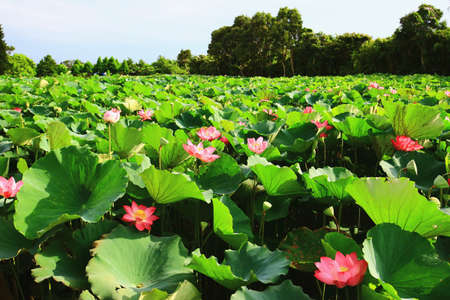 Beautiful landscape of lotus flowers blooming in the pond in a sunny day Stock Photo