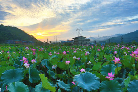 Beautiful dawn landscape with lotus flowers blooming in the pond in summer