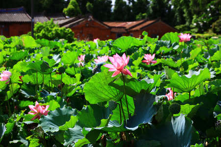 Beautiful view of lotus flowers blooming in the pond in a sunny day Stock Photo