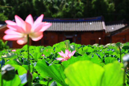 Beautiful view of lotus flowers blooming in the pond with farmhouse in a sunny day