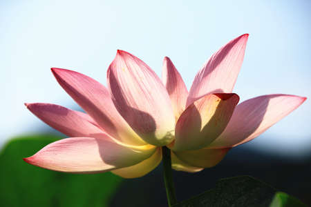 Beautiful pink lotus flower blooming in the pond with blue sky background in summer