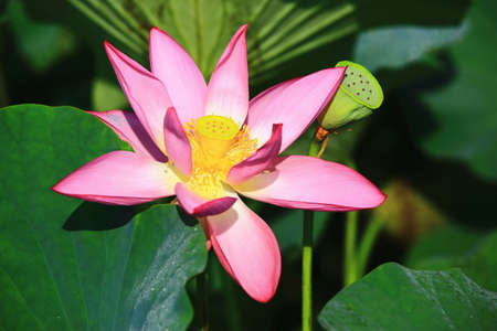 Lotus flower close-up, beautiful pink lotus flower blooming in the pond in summer