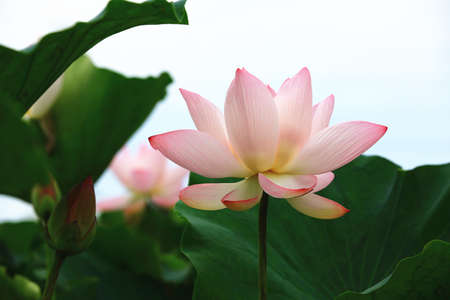 Beautiful pink lotus flowers blooming in the pond with blue sky background in summer