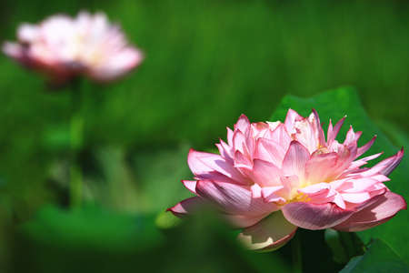 Peony Lotus flower close-up,beautiful pink peony lotus flower blooming in the pond in summer
