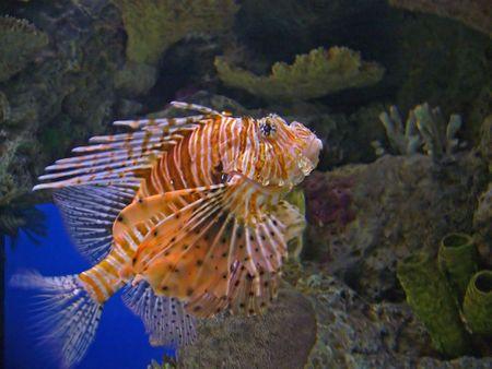 mortale: Un ritratto dei mortali e rari Lion Fish  Archivio Fotografico