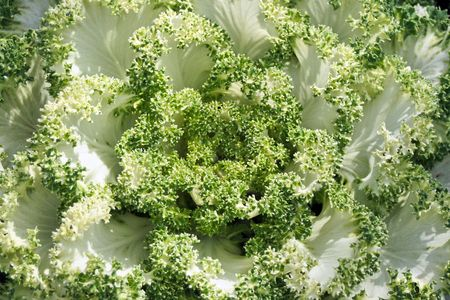 detailed shot: A close up detailed shot of Ornamental Cabbage
