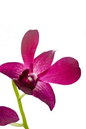 A close up micro shot of a pink iris flower