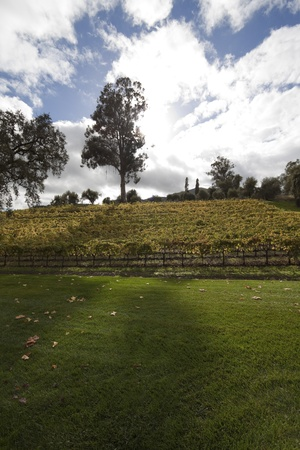 A bunch of grape vines on the side of a hill