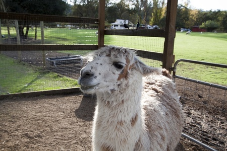 A close up of a llama that seems to be smiling photo