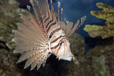 The majestic lionfish swimming in coral Stock Photo
