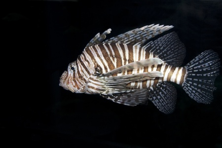 zebrafish: The majestic lionfish swimming in dark waters