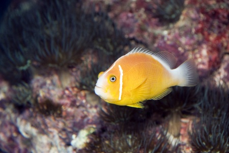 A close photo of a small yellow fish Stock Photo - 13135627