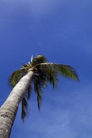 A palm tree blowing in the wind with a blue cloudy sky Stock Photo - 13707988