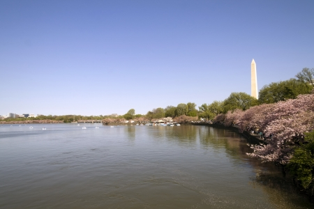 Washington Monument in Washington D C  and the Cherry Blossoms