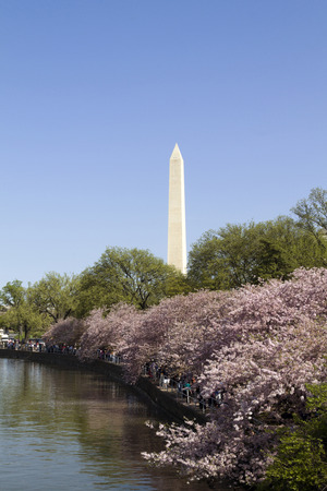 Washington Monument in Washington D C  with cherry blossoms