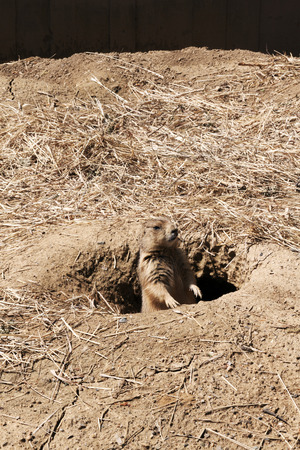 peaking: A single prairie dog peaking out of his den on guard. Stock Photo