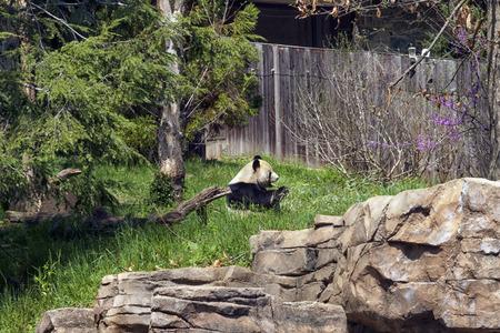 A lone Panda sitting eating a piece of bamboo Standard-Bild