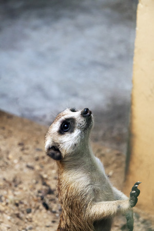 A single Meerkat looking on at the crowd Stock Photo
