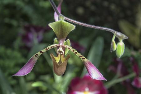 Eine Nahaufnahme Bild eines rosa Schuh-Orchidee (Paphiopedilum) Blume. Standard-Bild - 63436090