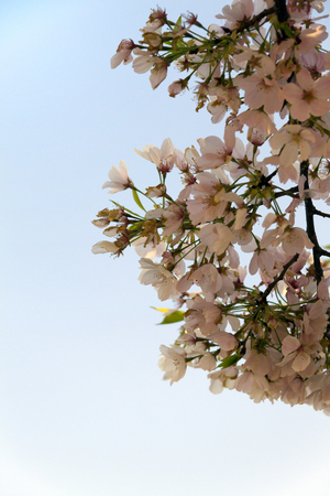 Branches and flowers of a Cherry Blossom tree in bloom Standard-Bild