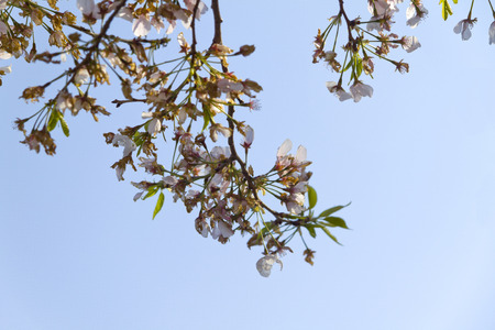 Branches of a Cherry Blossom tree in bloom