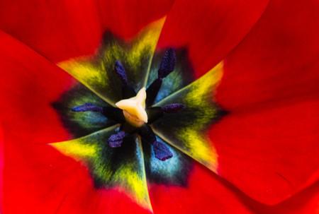 Center of the tulip