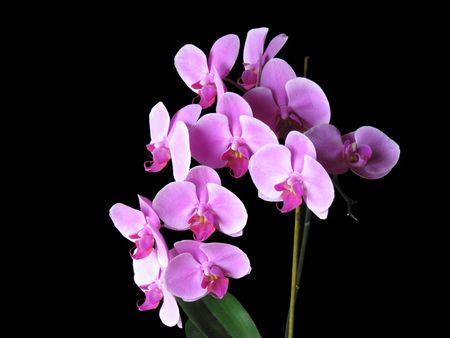 Closeup of a branch of pink orchids over black background
