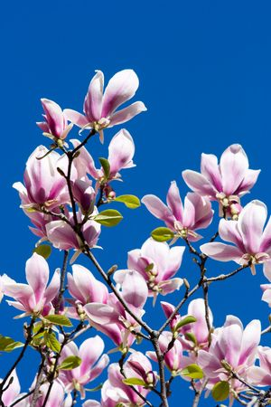 Beautiful branches of pink magnolia flower over blue sky Stock Photo