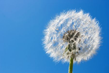 Dandelion over blue sky. Useful for spring themes or serenity, joy, freshness concepts. Space for copy. Stock Photo
