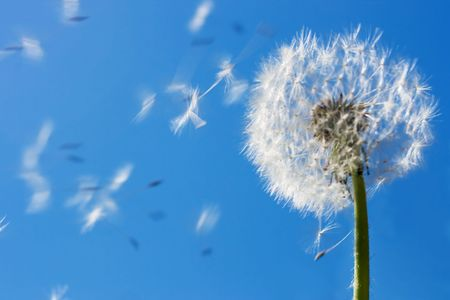 serenity: Dandelion seeds flying in the blue sky. Useful for spring themes or serenity, joy, freshness concepts. Space for copy.