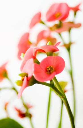 Lovely pink flowers on white background. Little grain and blur to increase the evanescence and the  atmosfere. Stock Photo