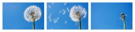 Triptych with the sequence of a dandelion seeds flying in the wind.