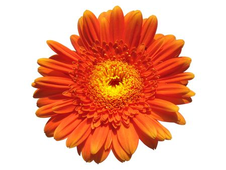 Closeup of an orange gerbera flower isolated on white background.