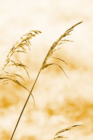 Closeup of two ears against a blurry field of dry grass. Autumn warm daylight. Unfocused image. Serenity concept. Space for copy. Stock Photo
