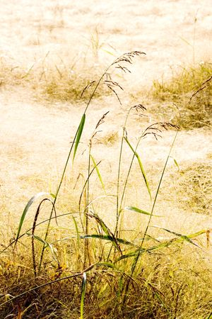 Field full of soft dry grass. Suggestive warm daylight due to the drops of dow on the stems and spikes. Texture, autumn background.  Serenity concept. Space for copy.