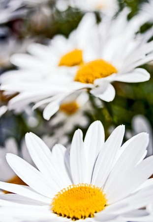 Close up on a delicate group of white daisies. Serenity, freshness, spring concept.