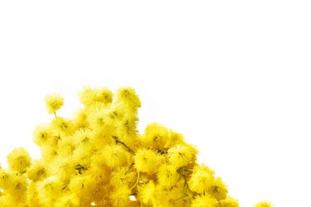 Branch of mimosa flowers isolated on white. Large space for copy.