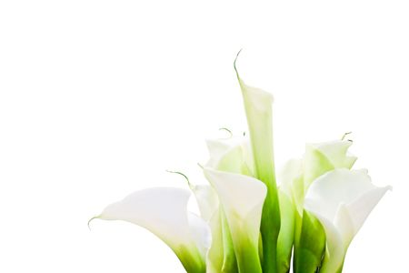 day lily: Bunch Of Calla Lilies isolated on white background.  purity, innocence, fragility, elegance, concept. Space for copy. Also useful as greeting card or invitation for celebrations as wedding, anniversary, valentines day.