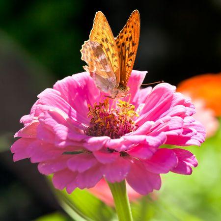 Orange Argynnis Paphia butterfly is sucking nectar from a pink Zinnia flower.