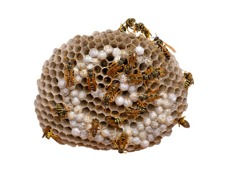 Wasp nest isolated on white, with wasps working and feeding the larvae