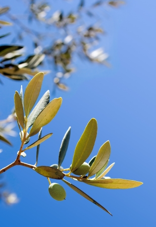 Olives on the tree against the blue sky. Space for copy.  Stock Photo