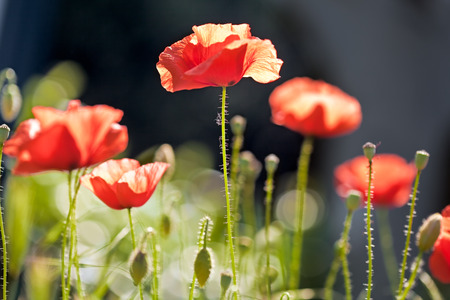 Closeup on a group of poppies  in a field