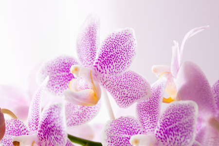 fragility: Closeup on pink orchids with soft light. Freshness, tenderness, fragility concept.