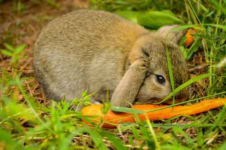 Rabbit Eating a Carrot Stock Photo