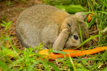 Rabbit Eating a Carrot Reklamní fotografie
