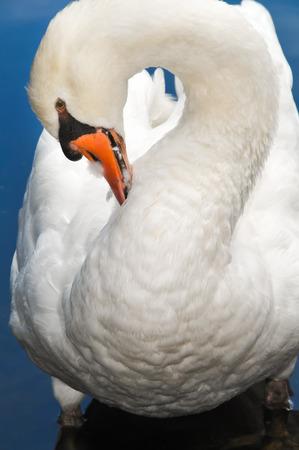 preening: Preening Swan