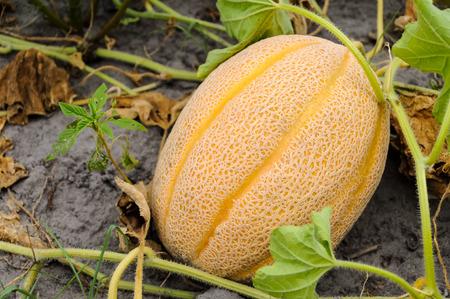 Cantaloupe in the Garden