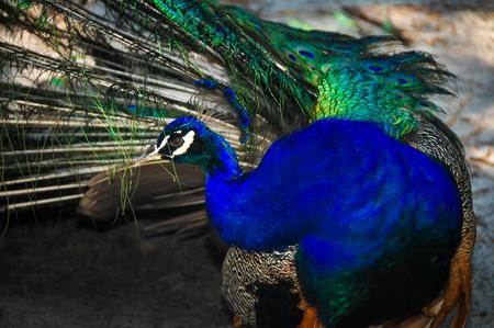 preening: Preening Peacock