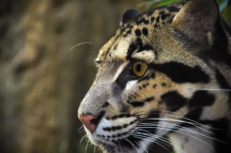 Clouded Leopard Head Stock Photo